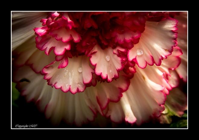 fleurs,bégonia