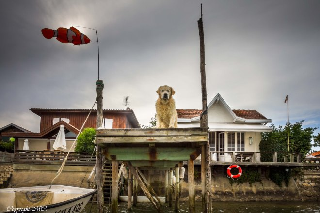 Brave chien sur une jetée qui regarde les baigneurs au Cap-Ferret